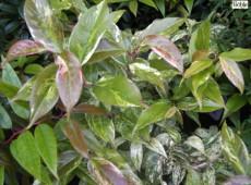 Leucothoe fontanesiana 'Rainbow' (Leucothoe walteri 'Rainbow')