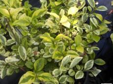 Ligustrum ovalifolium 'Aureum'  -Goldliguster-