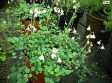 Linnaea borealis -Moosglöckchen- (Heidekrautgewächs)