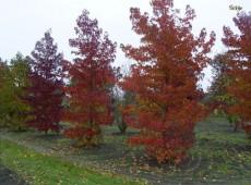 Liquidambar styraciflua -amerikanischer Amberbaum-