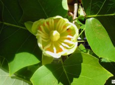 Liriodendron tulipifera -amerikanischer Tulpenbaum-