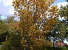 Liriodendron tulipifera 'Fastigiatum' -Säulentulpenbaum-