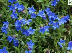 Lithodora diffusa 'Heavenly Blue' -blaue Steinsame-