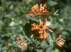 Lonicera brownii 'Dropmore Scarlet' -Geißblatt-