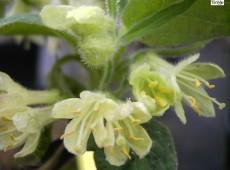 Lonicera caerulea var. kamtschatica 'Blue Velvet' ® -sibirische Blaubeere-