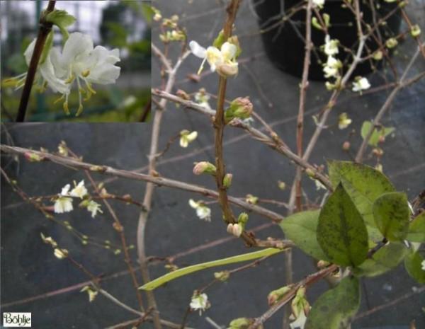 Lonicera x purpusii -Winterduftheckenkirsche-
