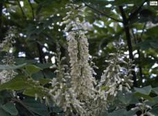 Maackia amurensis -asiatisches Gelbholz-