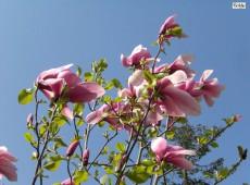 Magnolia 'Galaxy' -Tulpenmagnolie-
