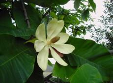 Magnolia hypoleuca -Magnolie-