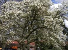 Magnolia kobus -Baummagnolie-
