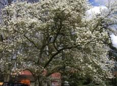 Magnolia kobus -Kobushi - Magnolie-