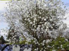 Magnolia x loebneri 'Merrill' -Magnolie-