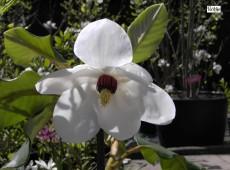 Magnolia sieboldii -Sommermagnolie-