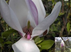 Magnolia soulangeana -Tulpenmagnolie-