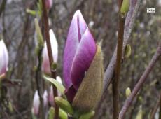 Magnolia soulangeana 'Lennei' -Tulpenmagnolie-