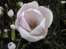Magnolia soulangeana 'Sundew' ('Sundew Pickard`s')  -Tulpenmagnolie-