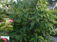 Magnolia tripetala -Schirmmagnolie-