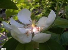 Magnolia virginiana -Sumpfmagnolie-