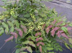 Mahonia media 'Winter Sun' -Schmuckmahonie-