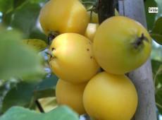 Malus 'Golden Hornet' -Zierapfel-