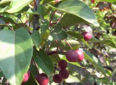 Malus 'Indian Magic' -Zierapfel-