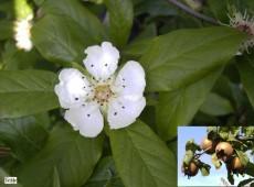 Mespilus germanica -echte Mispel-