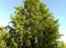 Metasequoia glyptostroboides  -Urweltmammutbaum / chinesisches Rotholz-