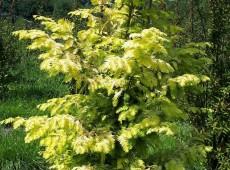 Metasequoia glyptostroboides 'Goldrush' -gelber Urweltmammutbaum / chinesisches Rotholz-