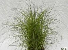 Miscanthus sinensis 'Kleine Silberspinne' -Chinaschilf-