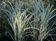 Miscanthus sinensis 'Variegatus' -Chinaschilf-