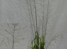 Molinia arundinacea 'Fontäne' -hohes Pfeifengras-