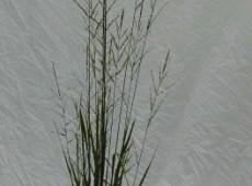 Molinia arundinacea 'Karl Förster' -Riesen Pfeifengras-