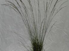 Molinia carulea 'Heidebraut' -kleines Pfeifengras / Heidebraut-
