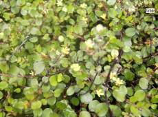 Muehlenbeckia axillaris (Heidekrautgewächs)