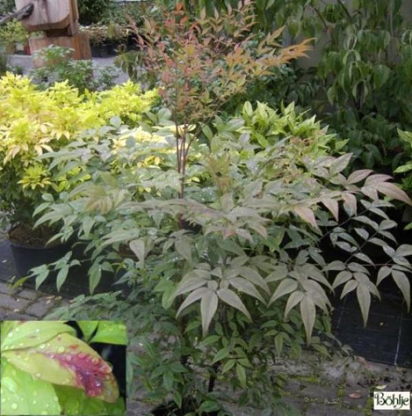 Nandina domestica -heiliger Bambus / Himmelsbambus-