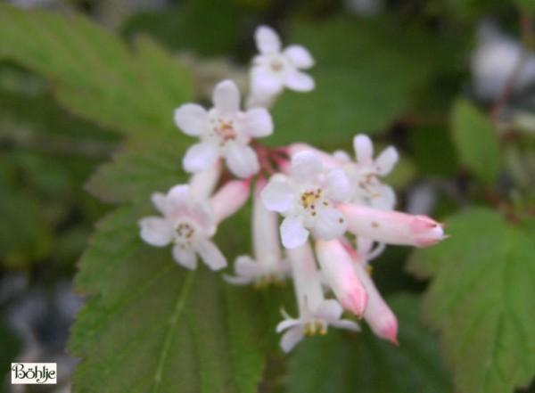 Neillia thibetica -tibetische Traubenspiere-