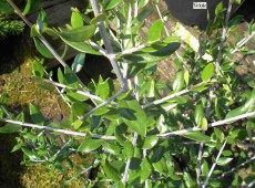 Olea europaea -Ölbaum, Olive-