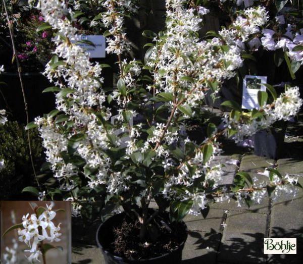 Osmanthus burkwoodii -Duftblüte-