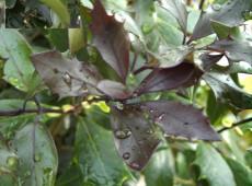 Osmanthus heterophyllus 'Purpureus'