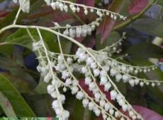 Oxydendrum arboreum -Sauerbaum-