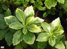 Pachysandra terminalis 'Compacta' -Schattengrün-