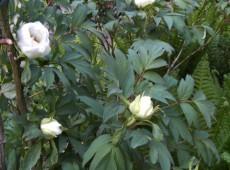 Paeonia suffruticosa Hybriden in Farben -Strauchpfingstrose-