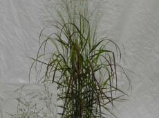 Panicum virgatum 'Rehbraun' -rotbraune Rutenhirse-