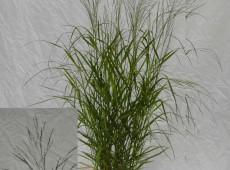 Panicum virgatum 'Warrior' -großblütige Rutenhirse-