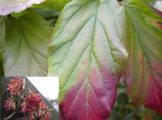 Parrotia persica -Eisenholzbaum-