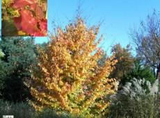 Parrotia persica 'Vanessa'