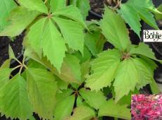 Parthenocissus quinquefolia 'Engelmannii' -wilder Wein-Jungfernrebe-