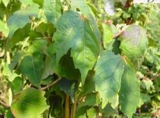 Parthenocissus quinquefolia -wilder Wein / Jungfernrebe-