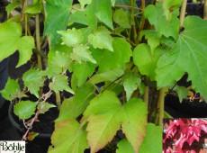 Parthenocissus tricuspidata 'Green Spring' -wilder Wein-Jungfernrebe-