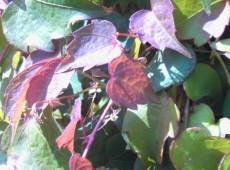 Parthenocissus tricuspidata 'Veitchii' -wilder Wein / Jungfernrebe-